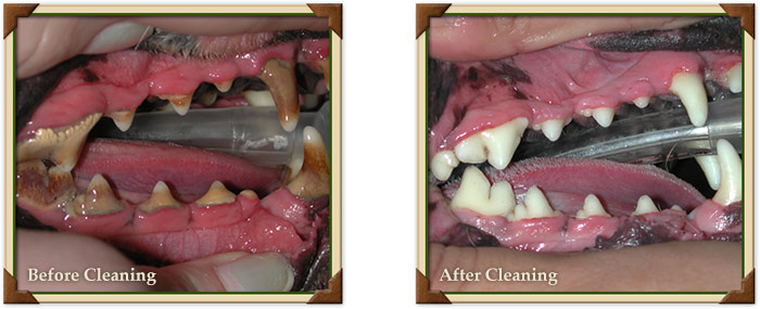 Before and After Pet Dental Cleaning